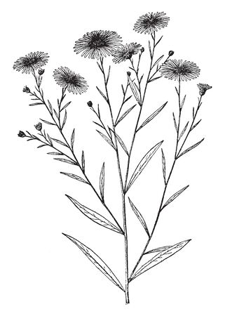 The Boltonia Latisquama plant leaves are alternate arranged, they are flat and narrow. Upper sides are some flowers and buds, vintage line drawing or engraving illustration.