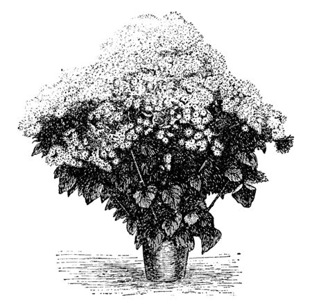 Cineraria plants are one of the most beautiful, low-growing flowers that can be grown from flower seeds, vintage line drawing or engraving illustration.