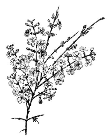 An illustration of the flowering branch of Jasminum Nudiflorum, is native to china. This variety of jasmine has yellow flowers which grow opposite each other, with one on each stem, vintage line drawing or engraving illustration.