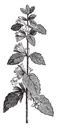 A picture of balm is flowering plant. Two leaves and flower are attached on stem node, vintage line drawing or engraving illustration.