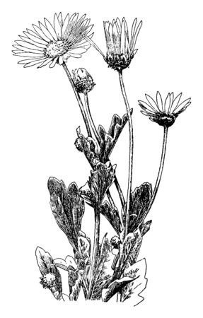 This Picture shows Arctotis Grandis plant. The flowers are white or white and pale violet and It looks like a sunflower. Leaves are flat, long and multilobed, vintage line drawing or engraving illustration.