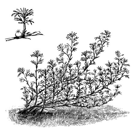 Pearl fruit, which we call also Margyricarpus, is an ornamental plant in the Rosaceae family. This plant is commonly found in South America, vintage line drawing or engraving illustration.