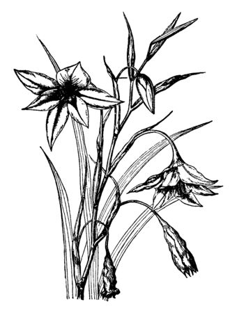 The image of Acidanthera Bicolor flower plant. The linear leaves and the flowers are very fragrant, vintage line drawing or engraving illustration. Çizim
