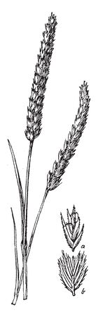 Crested dogstail is found in in a wide variety of lowland grasslands. The grass grows one to two feet high and also it has flat blades and spike-like flower clusters, vintage line drawing or engraving illustration.  イラスト・ベクター素材