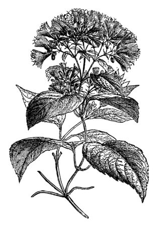 Branch of Guaco Plant. The leaves of the Quaco bush also have spicy smell when they are crushed while the flowers possess a very distinctive vanilla-flavored smell, vintage line drawing or engraving illustration. Vettoriali