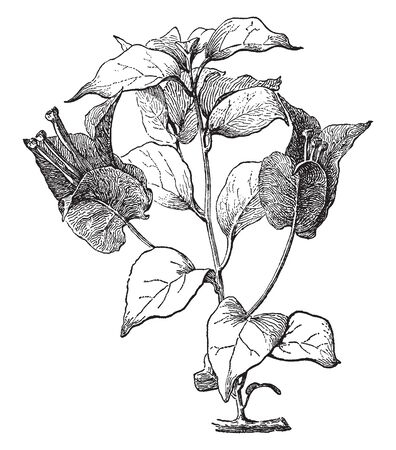 Bougainvillea Glabra is usually grows 10 foot tall. Its shrub with thorny branches, a heart shaped dark green leaves, vintage line drawing or engraving illustration. Illustration
