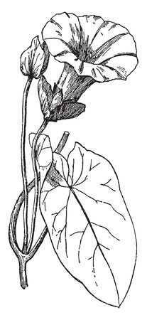 In this picture of Bindweed, the flowers are trumpet shaped, they developed in small bracket and hart shaped leaves, vintage line drawing or engraving illustration.