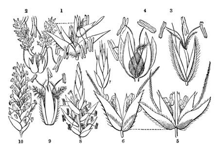 Here some parts of flowers are showing, the anther attach oval by filament, flower blossom position flowers and step, vintage line drawing or engraving illustration. 向量圖像