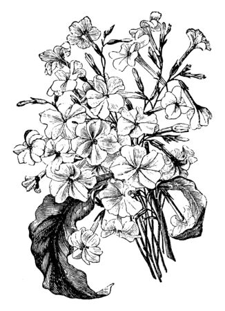 This is a rare Australian tobacco it grows to tall-with smaller tubular flowers but many of them. Flowers are white. The leaves are less coarse as well, vintage line drawing or engraving illustration.  イラスト・ベクター素材