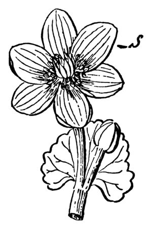 Caltha palustris also called as Marsh Marigold is a perennial plant found mainly in northern states and Canada. This picture shows a sepal of this flower. Sepals are bright yellow in color, vintage line drawing or engraving illustration.