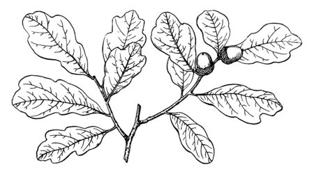 This picture showing branch of shallow lobed oak, this leaves shape are lobed, seed born on nude, vintage line drawing or engraving illustration. Ilustração