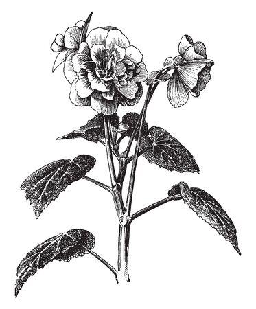 Begonia Tuberhybrida ist die am häufigsten angebaute Blumenart. Der Blütenstiel ist dick und groß und die spitzen ovalen Blätter sind groß und lang, Vintage-Linienzeichnung oder Gravurillustration. Vektorgrafik