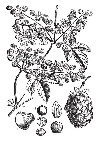 The image shows a Hop fruit. They are used primarily as a flavoring and stability agent in beer, to which they impart bitter, zesty, or citric flavors, vintage line drawing or engraving illustration.