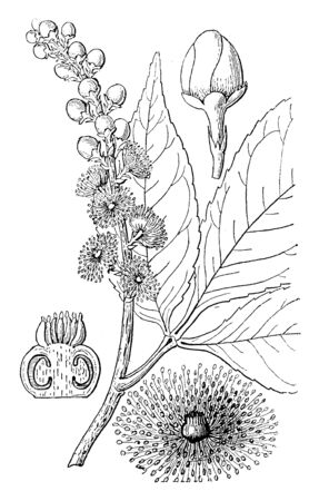 A picture is showing the different parts of Anthodiscus Trifoliatus. The parts are flower, flower bud and a perpendicular section of the pistil, vintage line drawing or engraving illustration.