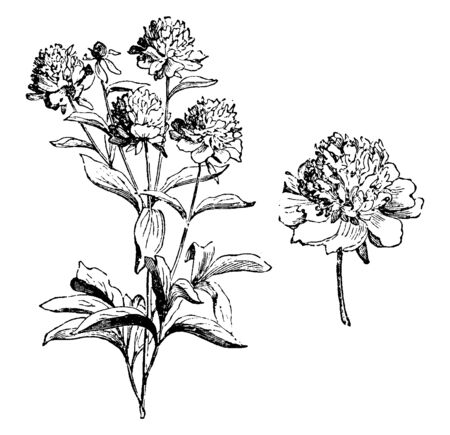 A picture, thats showing a Peaonia Albiflora flower. The leaves are 20-40 cm long. The flowers are broad and round, vintage line drawing or engraving illustration.