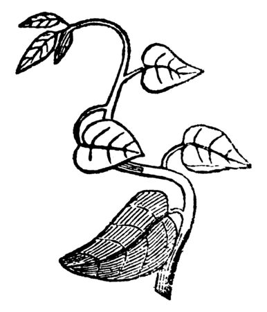 This is an image of Twining Stem and it is also called as vine, vintage line drawing or engraving illustration.