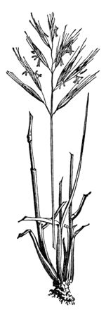 This is a grass. Stems are round and long and thin. Blade sharp and pointed. Flower grows upside. Roots are small and short, vintage line drawing or engraving illustration.
