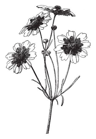 A picture is showing a branch and flower of Coreopsis Tinctoria also known as Tickseed which grows one to three feet tall, vintage line drawing or engraving illustration.