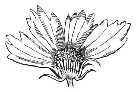 A picture showing the head of flowers of a Coreopsis, divided longitudinally, vintage line drawing or engraving illustration. Illustration