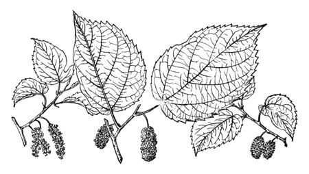 This picture is showing Branch of Red Mulberry fruit with sharp edge leaves & fruits, vintage line drawing or engraving illustration. Çizim