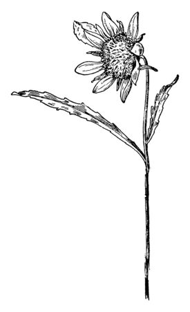 An illustration of the Smaller Bur Marigold of the Composite family (Compositae). This is also called as Bidens cernua, vintage line drawing or engraving illustration.