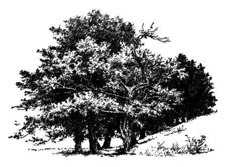 This picture is showing the group of old sugar maples. Sugar maple is best known for being the primary source of maple syrup, vintage line drawing or engraving illustration. Banco de Imagens - 132825656
