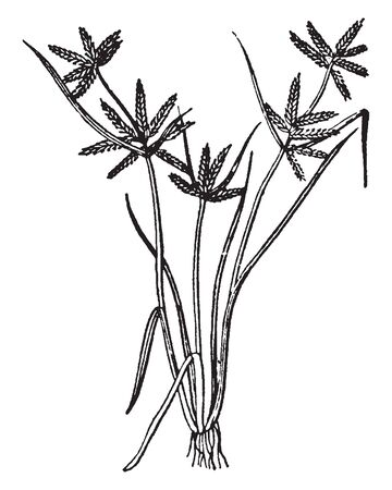 Cyperus is a large genus of about 700 species of sedges. The stems are circular in cross-section in some, triangular in others, usually leafless for most of their length, vintage line drawing or engraving illustration. Çizim