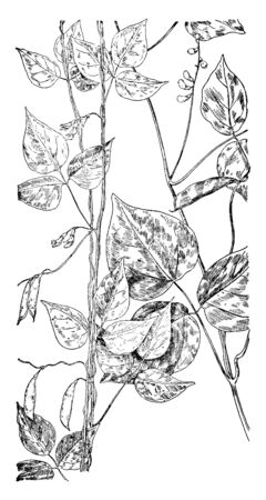 The picture, thats showing two plants, one is the Hog Peanut and second is Wild Bean. They are plants with flowers and pods, vintage line drawing or engraving illustration.