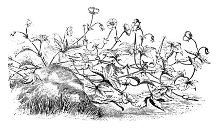 A picture is showing Geranium Wallichianum. It is belongs to Geraniaceae family, which is native to the Himalayas. The flowers are blue and leaves has toothed-margin, vintage line drawing or engraving illustration.