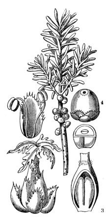 A picture, thats showing a parts of Florida rosemary plant. This image shows a fruit, leaves, ovary, and seed, vintage line drawing or engraving illustration.