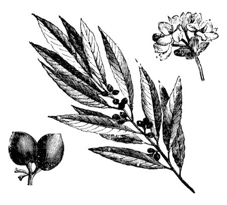 A picture showing the parts of Fruiting Twig, Inflorescence, and Fruits Lauras Noble Plant, vintage line drawing or engraving illustration.