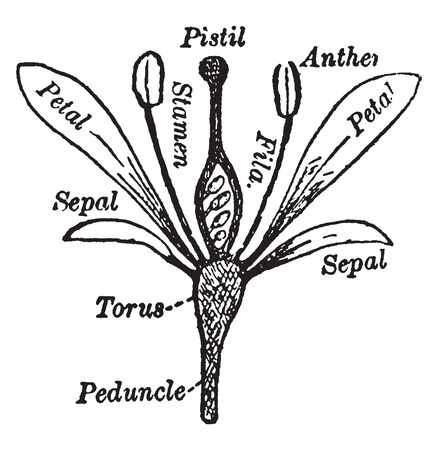 Picture show essential parts of flower plant. It start with peduncle & above this peduncle torus is present. Around this torus sepal is present, vintage line drawing or engraving illustration.