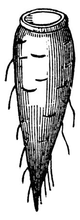 In this image showing a spindle root. The roots are growing underground. It is types of roots. It is rounded, vintage line drawing or engraving illustration.