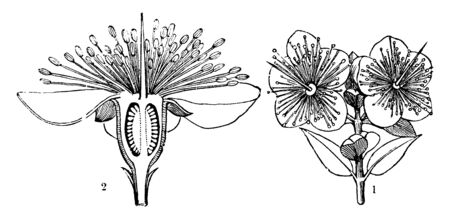 Picture of Myrtle flower. The common name myrtle comes from the ancient Greek word Myrtos, meaning a sprig of the myrtle tree. Picture shows the two partitions of Myrtle flower, vintage line drawing or engraving illustration.