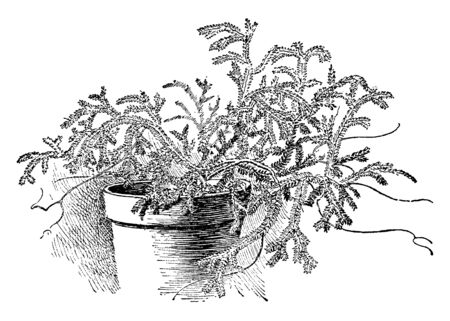 This is an image of club moss. These club mosses are small, creeping, terrestrial or epiphyti, Vascular plants, which lack flowers and reproduce sexually by spores, vintage line drawing or engraving illustration.