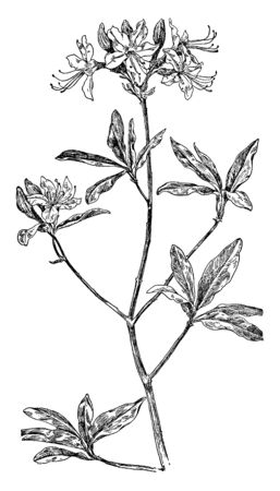 Pinxter flower is a species of shrub in the heath family. This species produces showy pink flowers in the spring.  The leaves are bright green and ovate, vintage line drawing or engraving illustration.