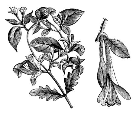 This is a flowering branchlet of Lonicera Caprifolium with very fragrant, cream-colored flowers. It is also known as honeysuckle, vintage line drawing or engraving illustration.