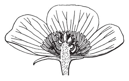 The Picture shows Anemone Flower. Petals are missing in the majority of species. The achenes are beaked & some species have feathery hairs attached to them. Spherical Bud & pollain grains are present, vintage line drawing or engraving illustration. Illustration