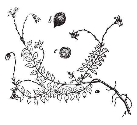 This is the Cranberry vine along with his fruits and flowers. Figure shows the vine along with buds and leaves. Pair of leaves are parallel to each other, vintage line drawing or engraving illustration.