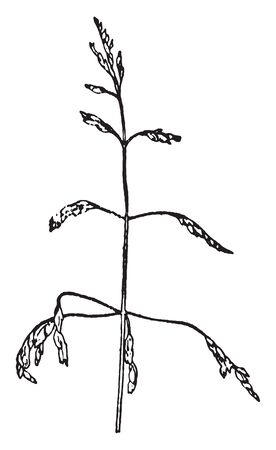 Kentucky Bluegrass is a cool season lawn grass. It is a native from Europe, Asia, Algeria and Morocco, vintage line drawing or engraving illustration. Illusztráció