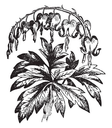 A picture is showing Dielytra. This is a genus of the fumariaceae family and it native to Siberia. Flowers are rosy-pink and heart shaped, vintage line drawing or engraving illustration.