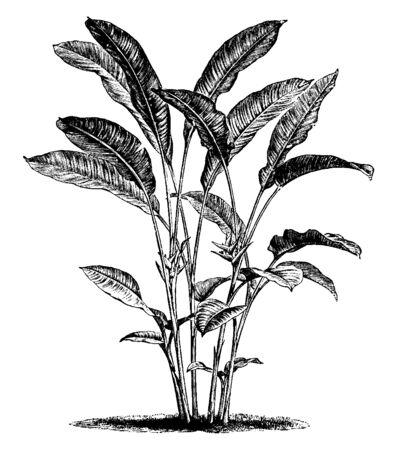 Heliconia bihai z rodziny Heliconiaceae to zioło wyprostowane, zwykle dorastające do 1,5 m wysokości. kwiat są czerwone i pomarańczowe, vintage rysowanie linii lub grawerowanie ilustracja.
