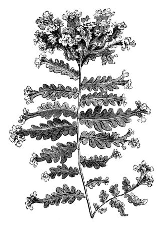 This is Nephrodium Molle Grandiceps plants. It has multi-lobe leaf and apex of each leaf has flower. The top of each branch has a large terminal crest, vintage line drawing or engraving illustration.