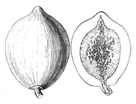 This is an image of fruit of Papaya. It is oval shape. There are many small seeds inside Papaya, vintage line drawing or engraving illustration.