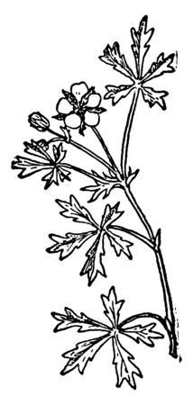 A picture, thats showing a Silvery cinquefoil. This is from Rosaceae family, vintage line drawing or engraving illustration.