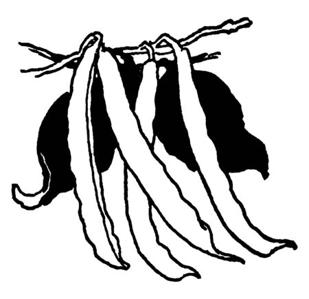 This is Pods of Green Beans. The leaves are pinnate, divided into 3 leaflets. This size is thin and lengthy, vintage line drawing or engraving illustration.