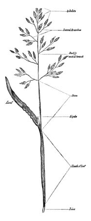 picture showing annual spear grass ,stem is long and thin ,branches grow and leaves also grow , leaves is small , leaf is broad and long, vintage line drawing or engraving illustration.