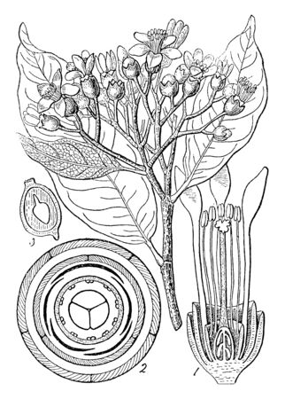 A picture showing leptolaena multiflora. In this: ( 1 ) a perpendicular section of its flower; ( 2 ) a diagram of its structure; ( 3 ) a section of its seed, vintage line drawing or engraving illustration.