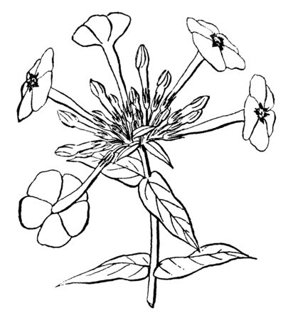 This picture is showing a flower of annual phlox their other names are Phlox drummondii and Drummond's phlox member of Polemoniaceae family mostly found in Texas, vintage line drawing or engraving illustration.
