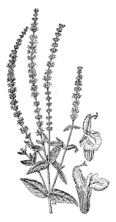 In this picture we can see Salvia Nemorosa plant which is very attractive & very easy to grow, vintage line drawing or engraving illustration. Illustration